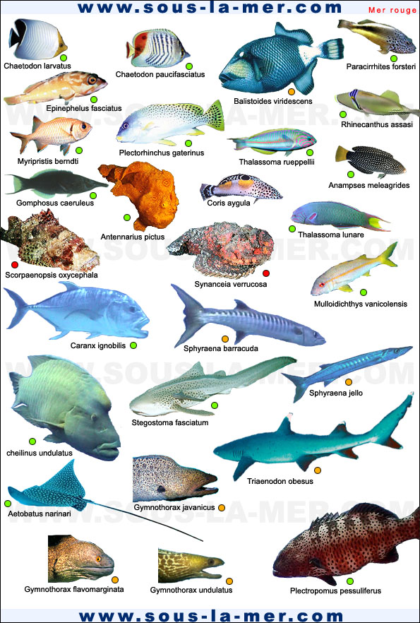 Cours de biologie sous marine for Nom poisson rouge