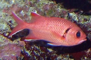 Les photos de la base de biologie sous marine for Poisson rouge gros yeux