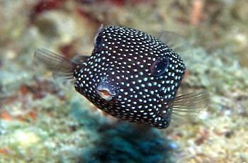 http://puteauxplongee.com/bio/images//divers/ostracion_meleagris.jpg